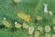 Betulaphis quadrituberculata ; adulte ailé et colonie
