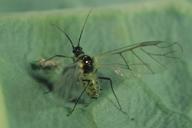 Brevicoryne brassicae : adulte ailé