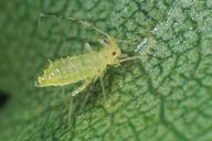 Calaphis flava : larve