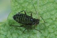 Callipterinella calliptera : adulte aptère