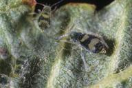 Callipterinella tuberculata