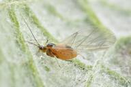 Capitophorus elaeagni : adulte ailé mycosé