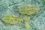 Capitophorus horni, nymphes