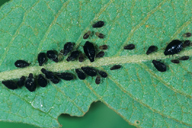 Chaitophorus salijaponicus niger : colonie