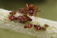 Chaitophorus populeti : colonie visitée par une fourmi
