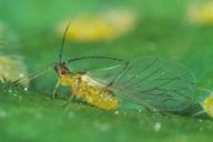 Cryptomyzus ribis : adulte ailé