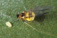 Crypturaphis grassii : adulte ailé