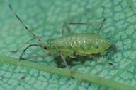 Drepanosiphum platanoidis : larve