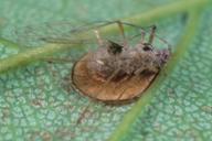 Drepanosiphum platanoides parasité par Discritulus planiceps
