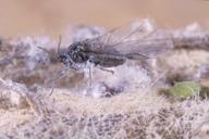 Eriosoma lanigerum : adulte ailé