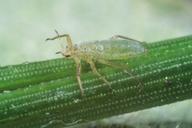 Essigella californica : adulte aptère