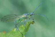 Euceraphis punctipennis : adulte ailé