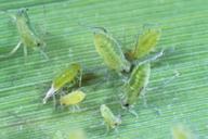 Hyalopterus pruni : N4 et adulte aptère
