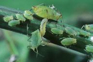 Hyperomyzus lactucae : larve de syrphe