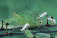 Hyperomyzus lactucae : adulte aptère et larviposition