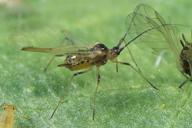 Hyperomyzus picridis : adulte ailé
