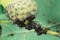 Lachnus roboris : colonie