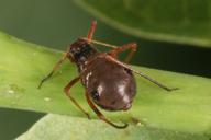Lachnus roboris : adulte aptère