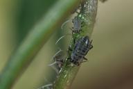 Lipaphis erysim : adulte aptère