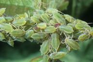 Longicaudus trirhodus : colonie
