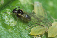 Longicaudus trirhodus : adulte ailé