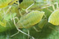 Longicaudus trirhodus : nymphe stade 4