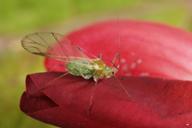 Macrosiphum albifrons : adulte ailé