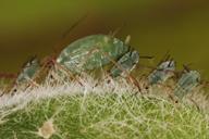Macrosiphum albifrons : colonie