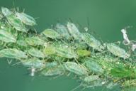 Macrosiphum euphorbiae : colonie verte