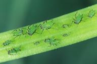 Megoura viciae : colonie sur fève