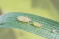 Metopolophium festucae : N4 et larve