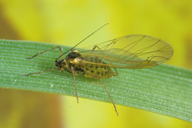 Metopolophium festucae : adulte ailé