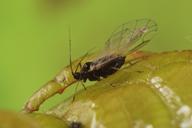 Myzus cerasi : adulte ailé