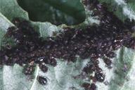 Myzus cerasi : colonie