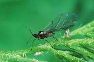 Myzus ornatus : adulte ailé