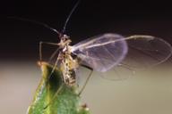 Myzus persicae : adulte ailé près pour l'envol