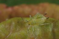 Myzus varians : adulte aptère