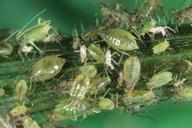 Nasonovia ribisnigri : colonie