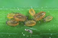 Nearctaphis bakeri : colonie