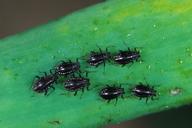 Neotoxoptera formosana : larves
