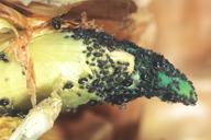 Neotoxoptera formosana : colonie sur germe d'oignon