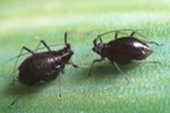 Neotoxoptera formosana : adulte aptère