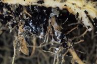 Pemphigus bursarius : colonie sur racines