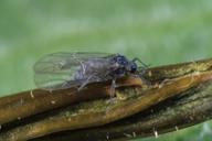 Pemphigus bursarius : adulte ailé