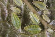 Phorodon humuli : adultes aptères