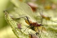 Macrosiphoniella artemisiae : adulte ailé