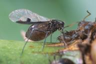 Maculolachnus submacula : adulte ailé