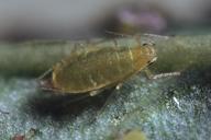 Myzaphis rosarum : adulte aptère