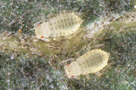 Myzocallis boerneri : larves
