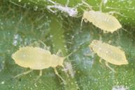 Myzocallis castanicola : larves